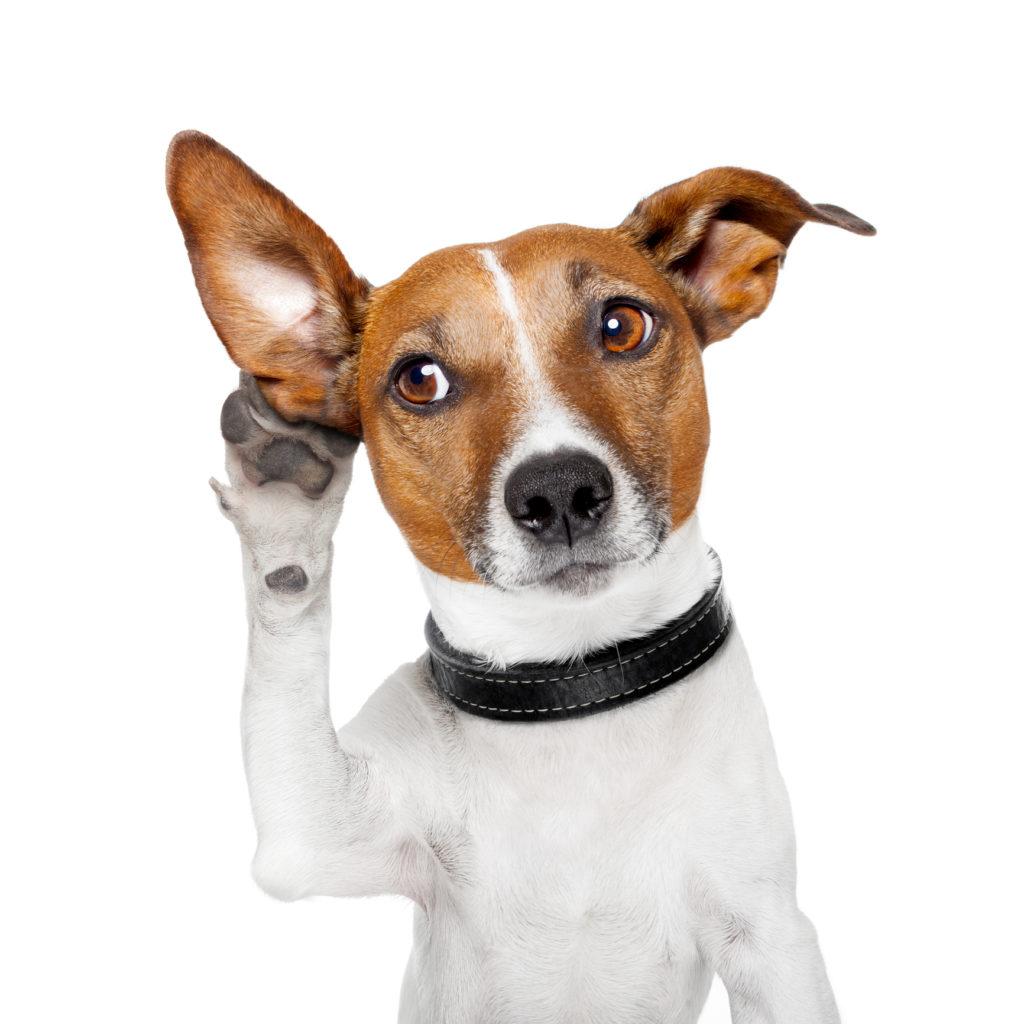 Sabe Limpiar orejas a tu perro Aquí te Explico paso a paso como hacerlo